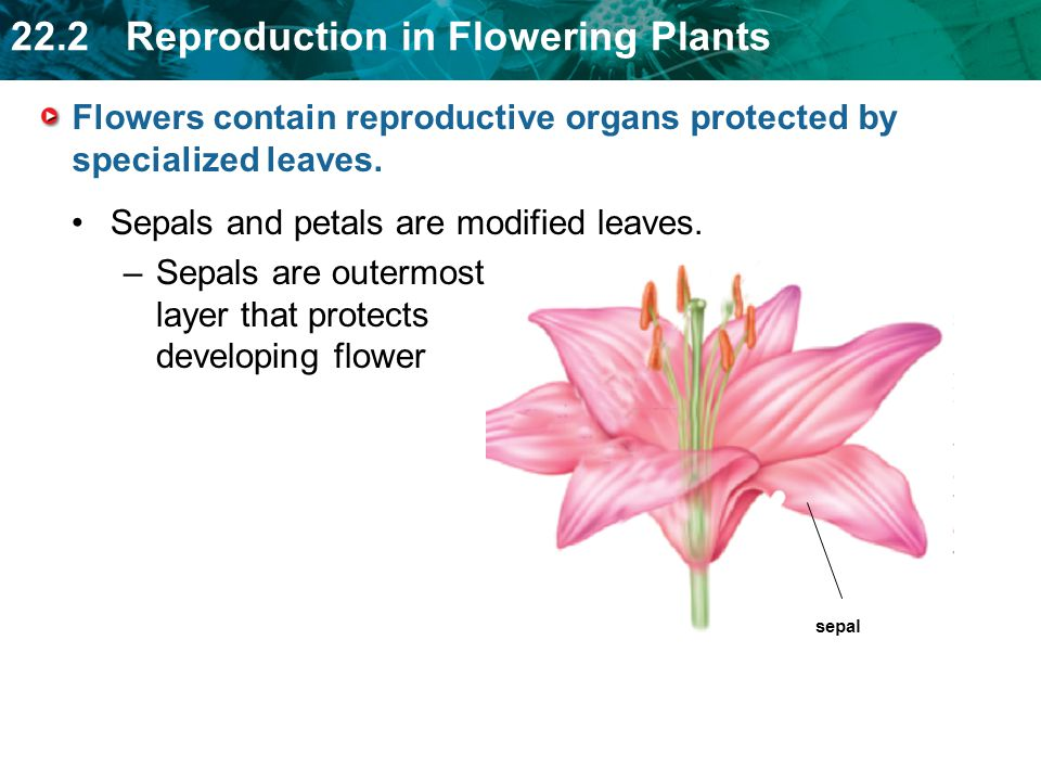 22.2 Reproduction in Flowering Plants sepal Flowers contain reproductive organs protected by specialized leaves.