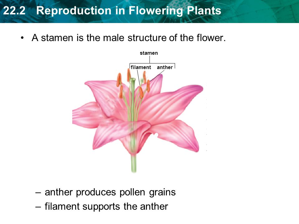 22.2 Reproduction in Flowering Plants A stamen is the male structure of the flower.