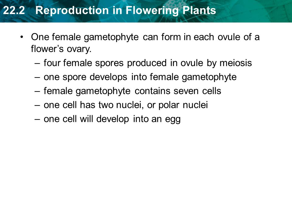 22.2 Reproduction in Flowering Plants –four female spores produced in ovule by meiosis –one spore develops into female gametophyte –female gametophyte contains seven cells –one cell has two nuclei, or polar nuclei –one cell will develop into an egg One female gametophyte can form in each ovule of a flowers ovary.