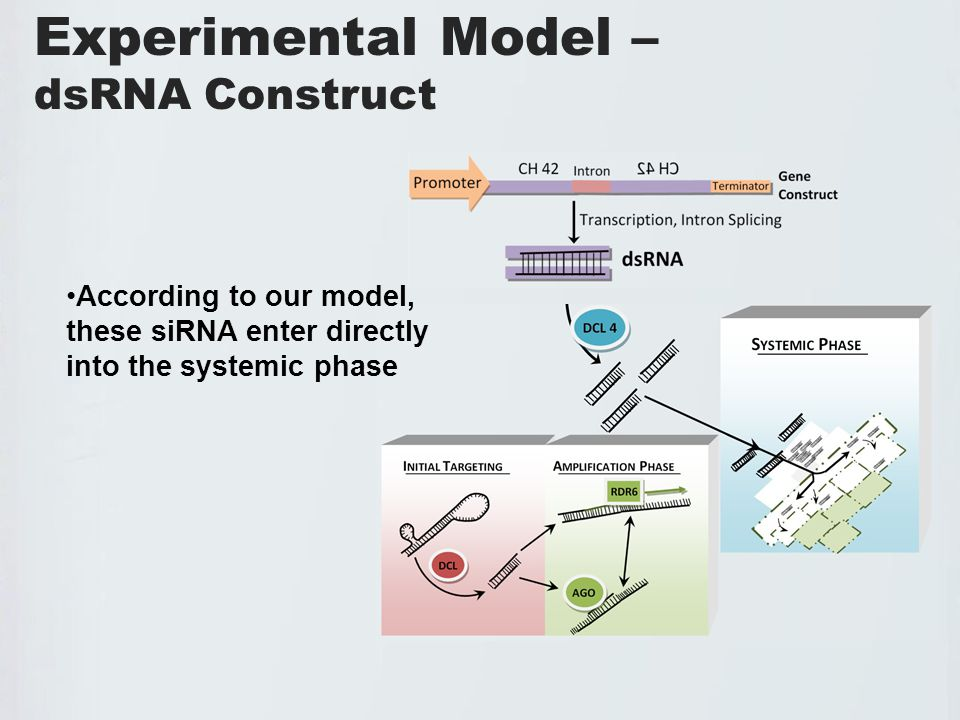 Experimental Model – dsRNA Construct According to our model, these siRNA enter directly into the systemic phase