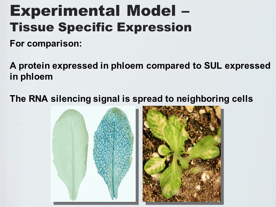 Experimental Model – Tissue Specific Expression For comparison: A protein expressed in phloem compared to SUL expressed in phloem The RNA silencing signal is spread to neighboring cells