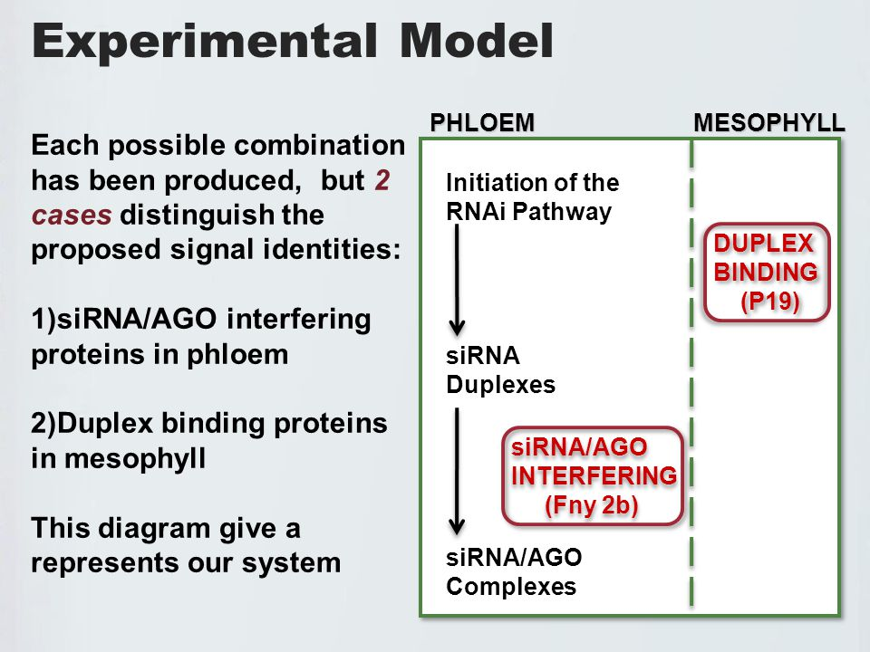 Experimental Model Initiation of the RNAi Pathway siRNA Duplexes siRNA/AGO Complexes PHLOEM MESOPHYLL Each possible combination has been produced, but 2 cases distinguish the proposed signal identities: 1)siRNA/AGO interfering proteins in phloem 2)Duplex binding proteins in mesophyll This diagram give a represents our system DUPLEX BINDING (P19) DUPLEX BINDING (P19) siRNA/AGO INTERFERING (Fny 2b) siRNA/AGO INTERFERING (Fny 2b)