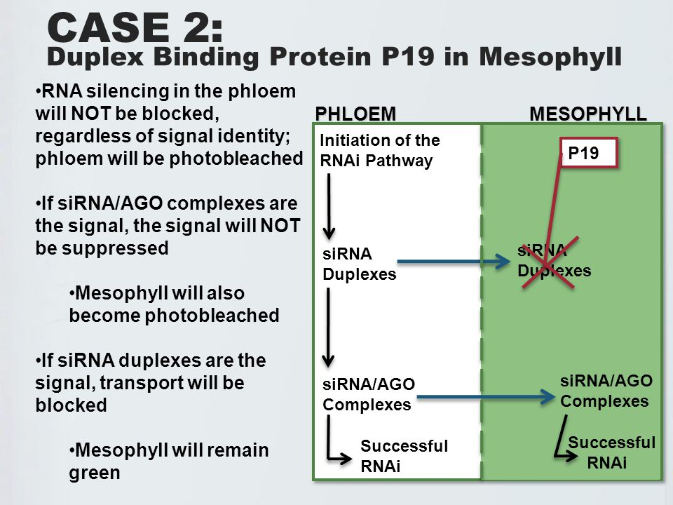 Duplex Binding Protein P19 in Mesophyll RNA silencing in the phloem will NOT be blocked, regardless of signal identity; phloem will be photobleached If siRNA/AGO complexes are the signal, the signal will NOT be suppressed Mesophyll will also become photobleached If siRNA duplexes are the signal, transport will be blocked Mesophyll will remain green CASE 2: Initiation of the RNAi Pathway siRNA Duplexes siRNA/AGO Complexes PHLOEM MESOPHYLL PHLOEM MESOPHYLL Successful RNAi siRNA Duplexes siRNA/AGO Complexes Successful RNAi P19