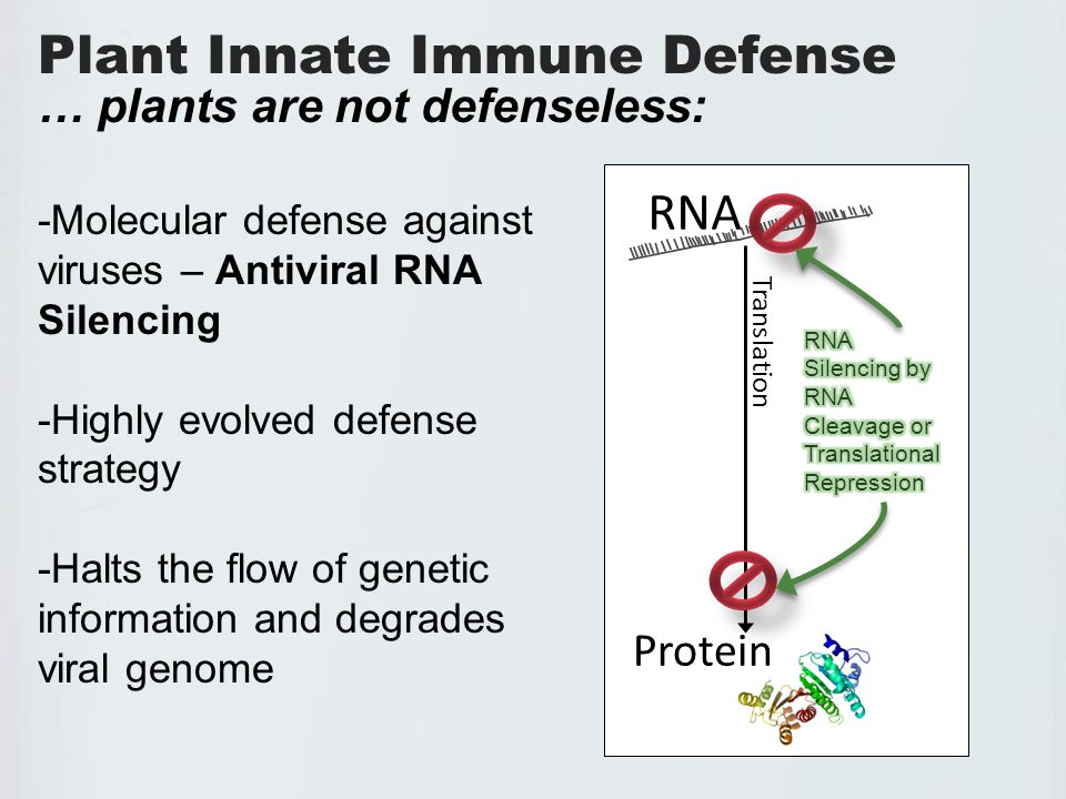 BACKGROUND – RNA Silencing RNA Silencing is: -RNA mediated -Homology dependent -Potent and specific -Short RNA molecules guide cleavage of their complementary sequence RNA Protein Translation