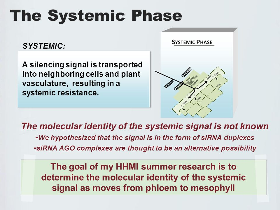 The Systemic Phase The molecular identity of the systemic signal is not known - We hypothesized that the signal is in the form of siRNA duplexes - siRNA AGO complexes are thought to be an alternative possibility The goal of my HHMI summer research is to determine the molecular identity of the systemic signal as moves from phloem to mesophyll SYSTEMIC: A silencing signal is transported into neighboring cells and plant vasculature, resulting in a systemic resistance.