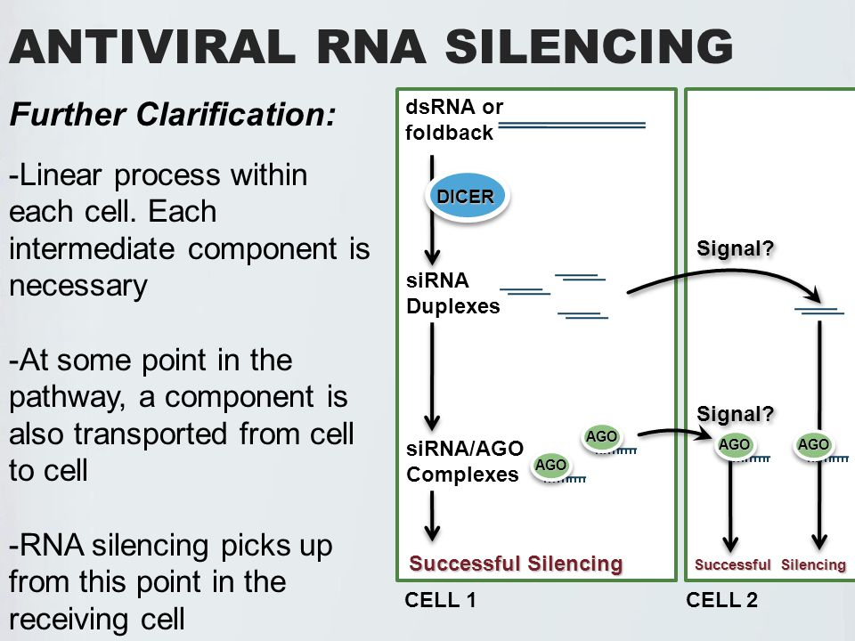 ANTIVIRAL RNA SILENCING dsRNA or foldback siRNA Duplexes siRNA/AGO Complexes Successful Silencing AGO AGO Further Clarification: -Linear process within each cell.