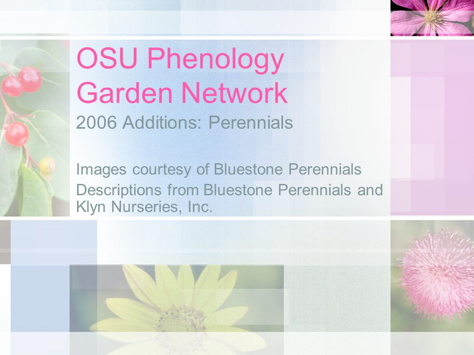 OSU Phenology Garden Network 2006 Additions: Perennials Images courtesy of Bluestone Perennials Descriptions from Bluestone Perennials and Klyn Nurseries, Inc.
