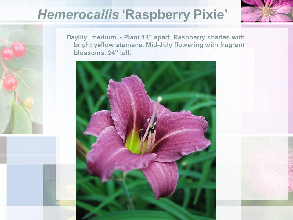 Hemerocallis Raspberry Pixie Daylily, medium. - Plant 18 apart.