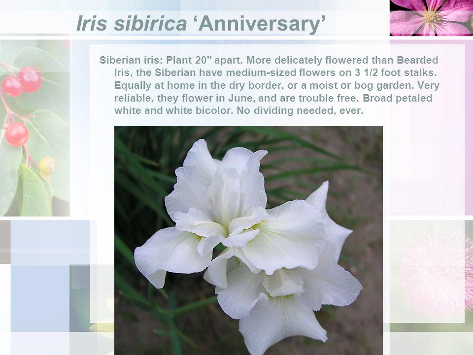 Iris sibirica Anniversary Siberian iris: Plant 20 apart.