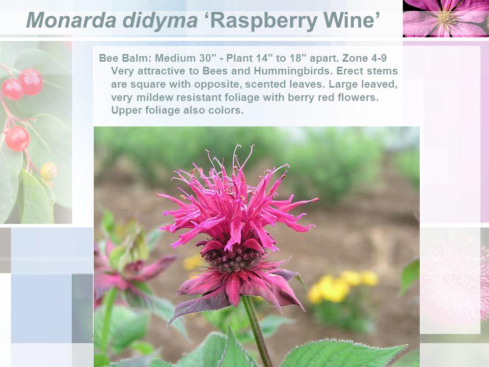 Monarda didyma Raspberry Wine Bee Balm: Medium 30 - Plant 14 to 18 apart.