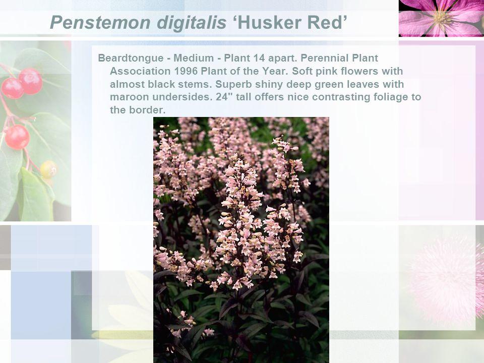 Penstemon digitalis Husker Red Beardtongue - Medium - Plant 14 apart.