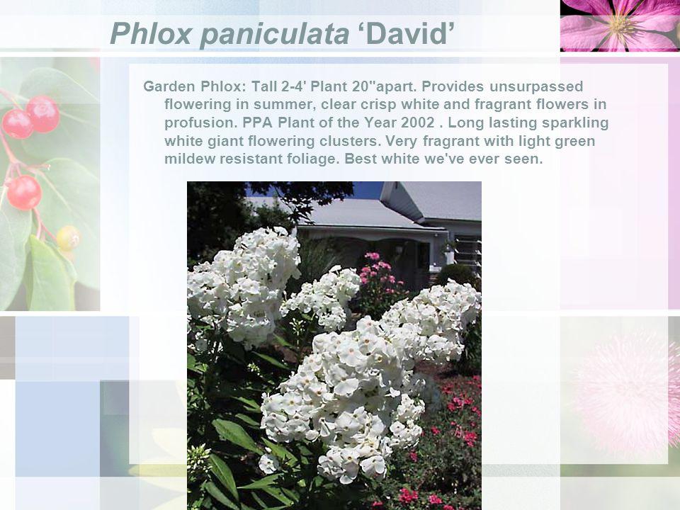 Phlox paniculata David Garden Phlox: Tall 2-4 Plant 20 apart.