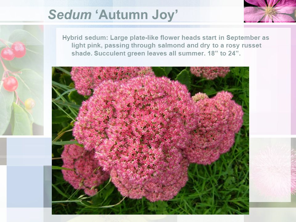Sedum Autumn Joy Hybrid sedum: Large plate-like flower heads start in September as light pink, passing through salmond and dry to a rosy russet shade.