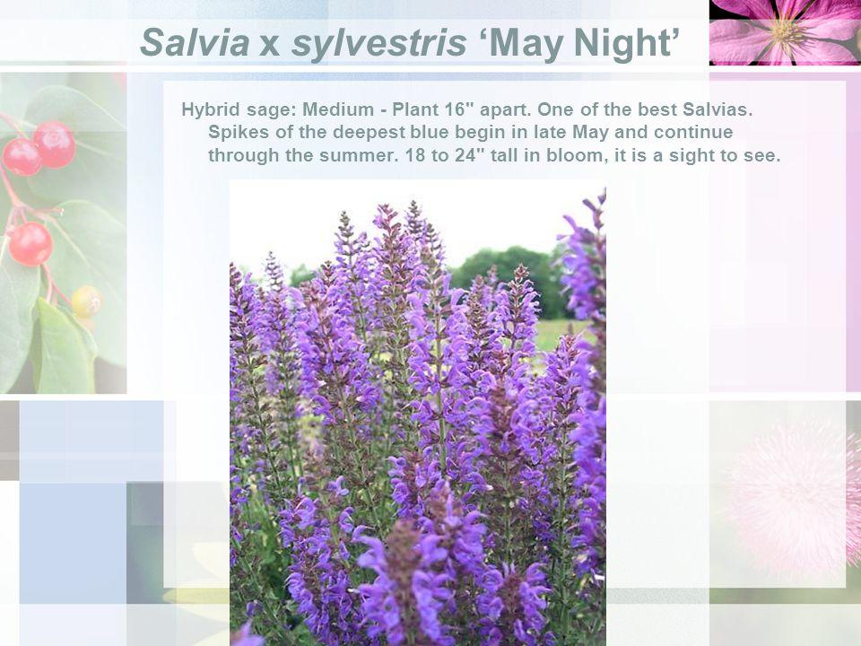 Salvia x sylvestris May Night Hybrid sage: Medium - Plant 16 apart.