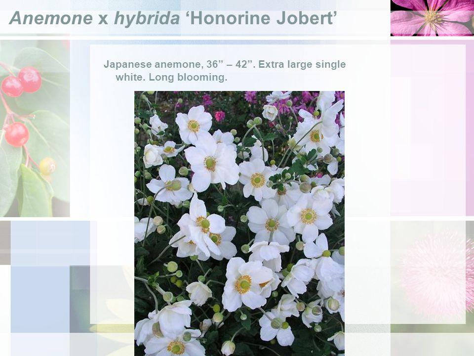 Anemone x hybrida Honorine Jobert Japanese anemone, 36 – 42.