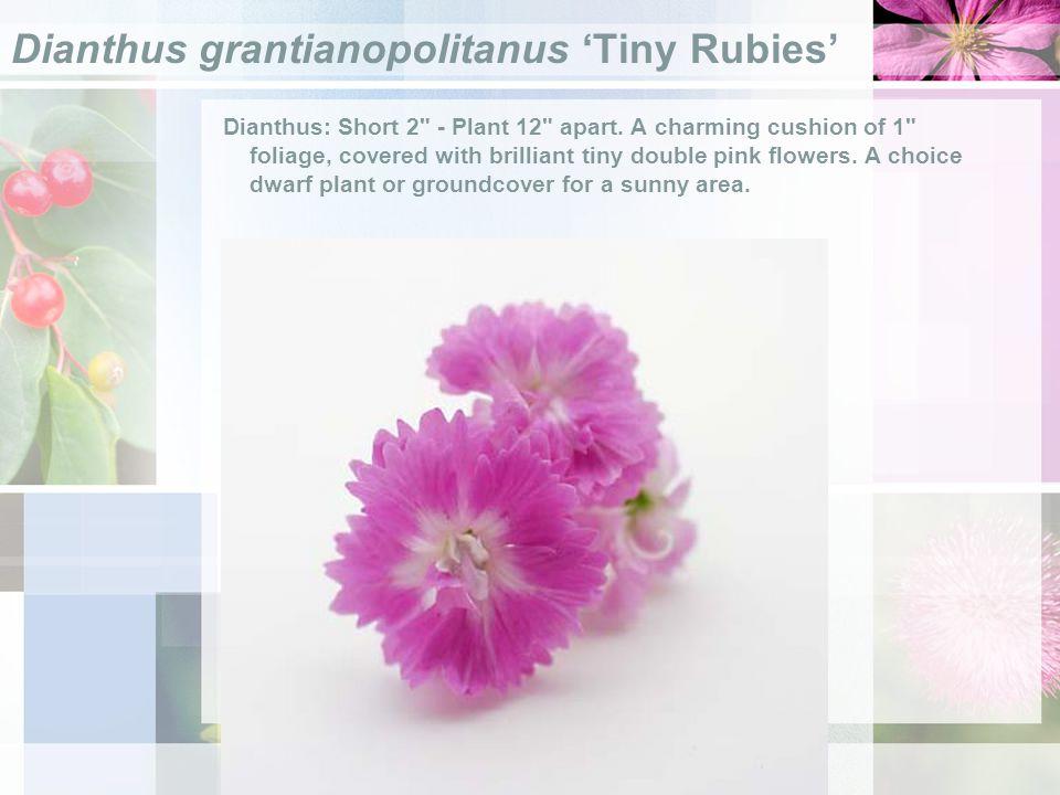 Dianthus grantianopolitanus Tiny Rubies Dianthus: Short 2 - Plant 12 apart.