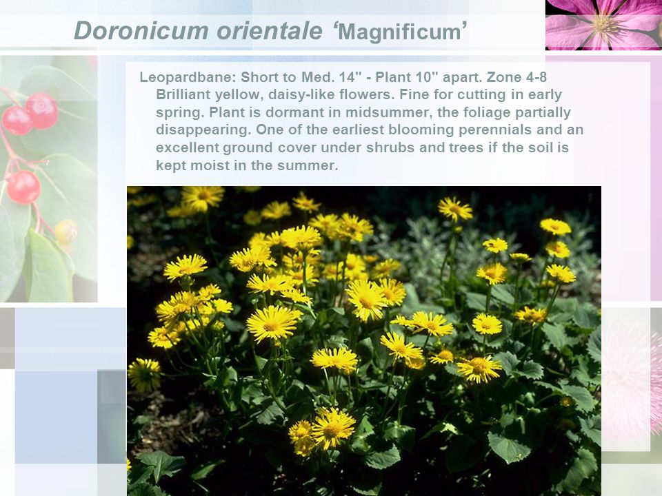 Doronicum orientale Magnificum Leopardbane: Short to Med.