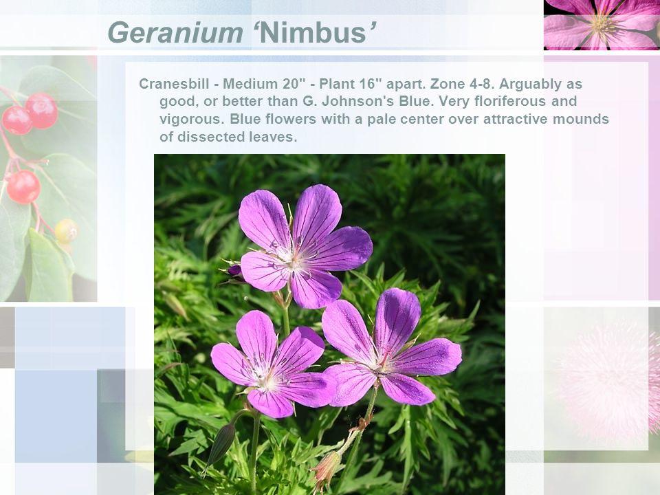 Geranium Nimbus Cranesbill - Medium 20 - Plant 16 apart.