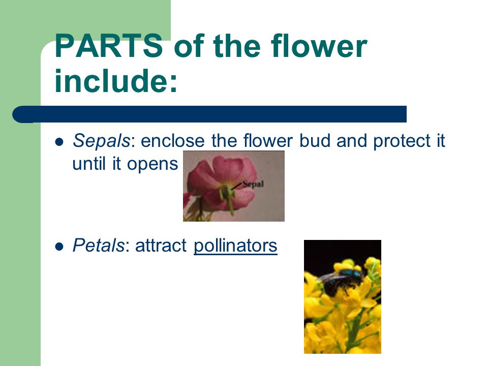 PARTS of the flower include: Sepals: enclose the flower bud and protect it until it opens Petals: attract pollinators