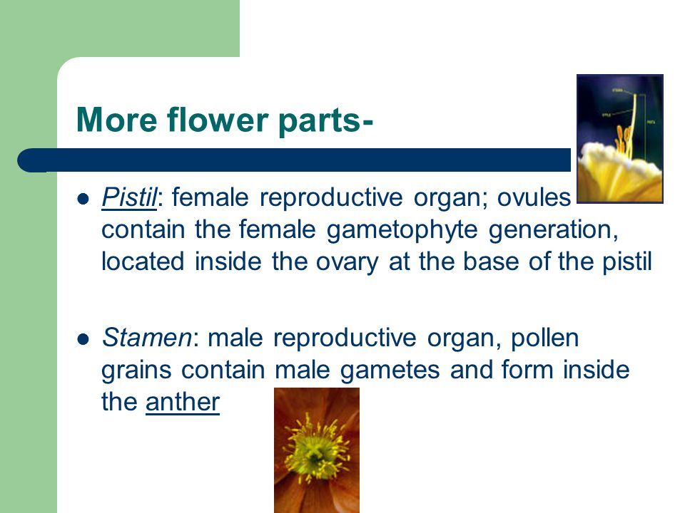 More flower parts- Pistil: female reproductive organ; ovules contain the female gametophyte generation, located inside the ovary at the base of the pi