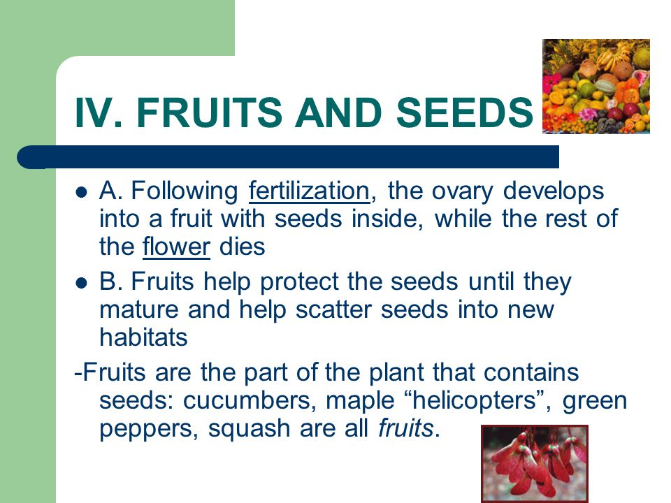 IV. FRUITS AND SEEDS A. Following fertilization, the ovary develops into a fruit with seeds inside, while the rest of the flower dies B. Fruits help p