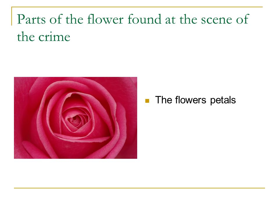 Parts of the flower found at the scene of the crime The flowers petals