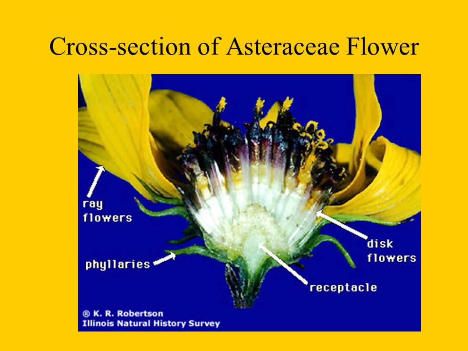 Cross-section of Asteraceae Flower