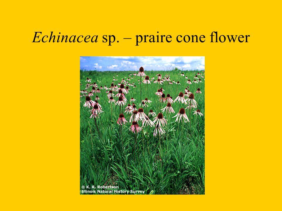 Liatris flowers
