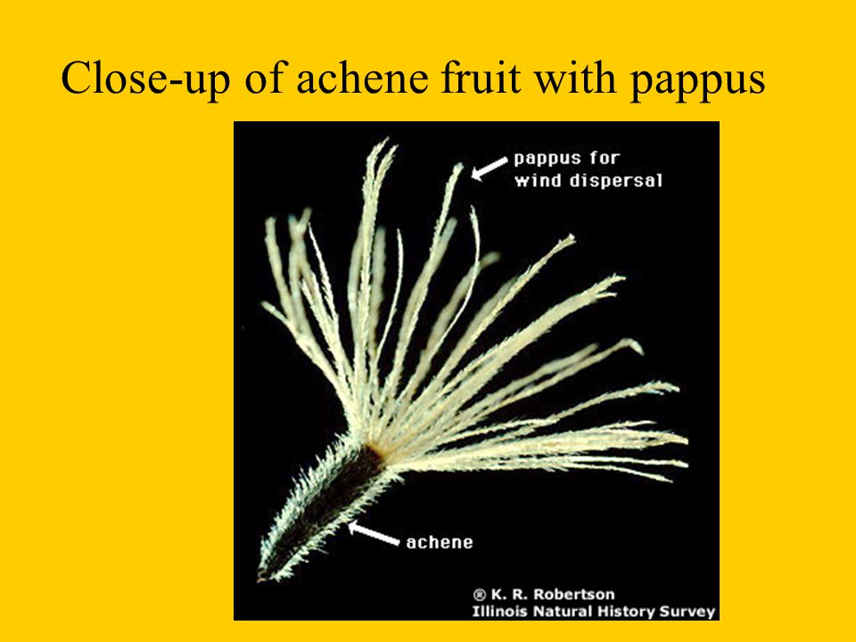 Close-up of achene fruit with pappus