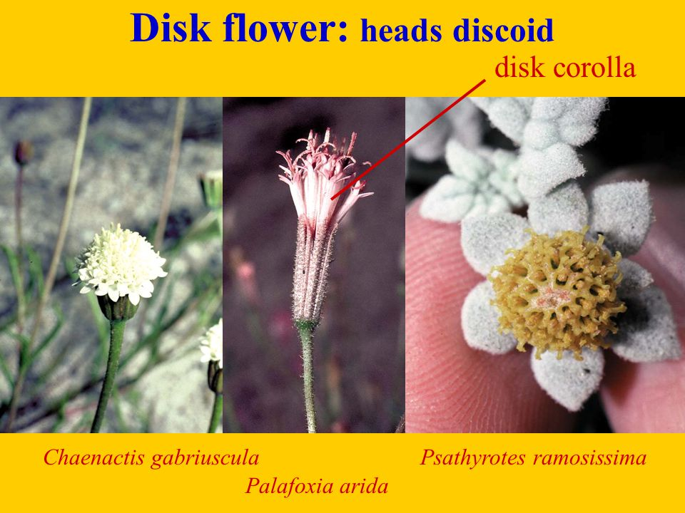 Disk flowers: heads disciform (2 types of disk fls., same or different heads) male heads Ambrosia chamissonis female heads