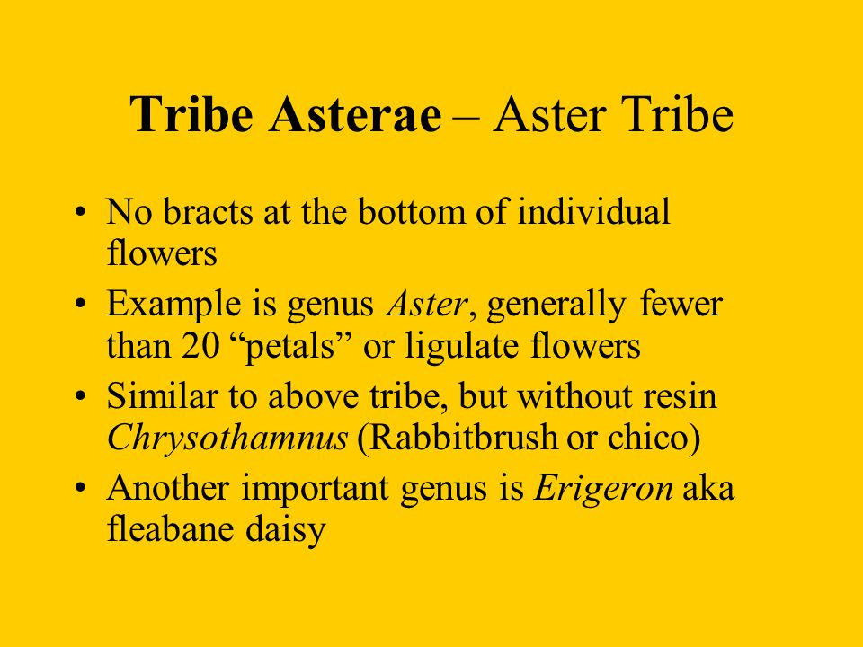 Tribe Asterae – Aster Tribe No bracts at the bottom of individual flowers Example is genus Aster, generally fewer than 20 petals or ligulate flowers S