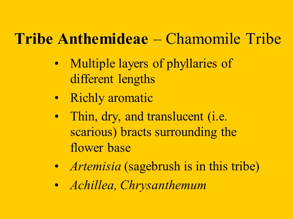 Tribe Anthemideae – Chamomile Tribe Multiple layers of phyllaries of different lengths Richly aromatic Thin, dry, and translucent (i.e. scarious) brac