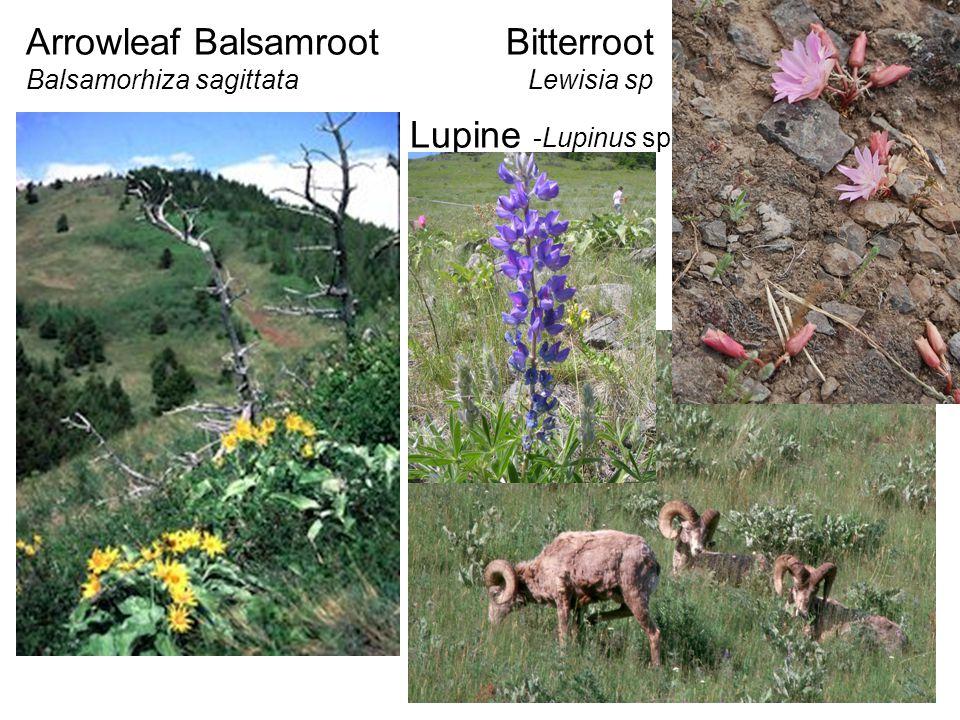 Arrowleaf BalsamrootBitterroot Balsamorhiza sagittata Lewisia sp Lupine -Lupinus sp.