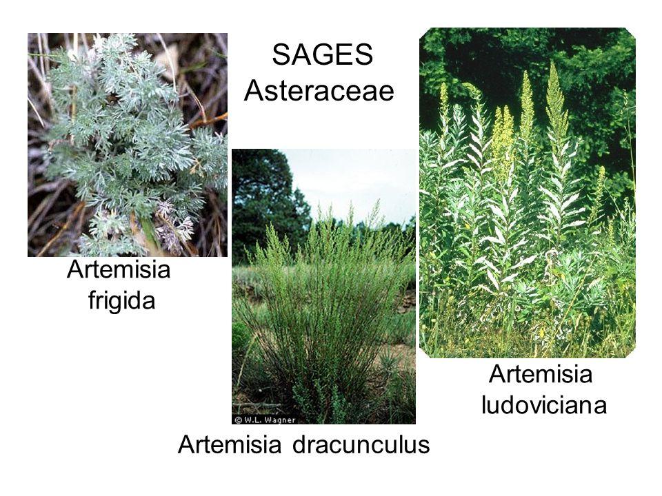 Artemisia frigida Artemisia ludoviciana Artemisia dracunculus SAGES Asteraceae