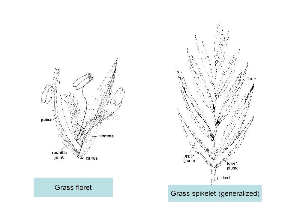 Grass floret Grass spikelet (generalized)