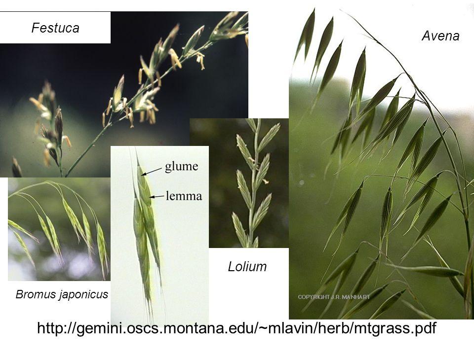 http://gemini.oscs.montana.edu/~mlavin/herb/mtgrass.pdf Avena Lolium Bromus japonicus Festuca