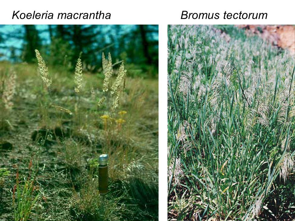 Koeleria macranthaBromus tectorum