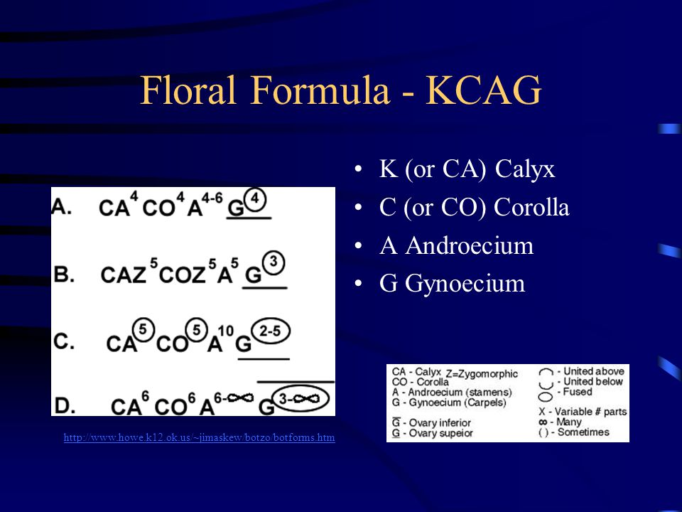 Floral Formula - KCAG K (or CA) Calyx C (or CO) Corolla A Androecium G Gynoecium http://www.howe.k12.ok.us/~jimaskew/botzo/botforms.htm