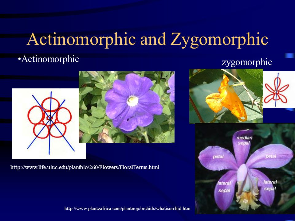 Actinomorphic and Zygomorphic Actinomorphic http://www.life.uiuc.edu/plantbio/260/Flowers/FloralTerms.html zygomorphic http://www.plantzafrica.com/plantnop/orchids/whatisorchid.htm