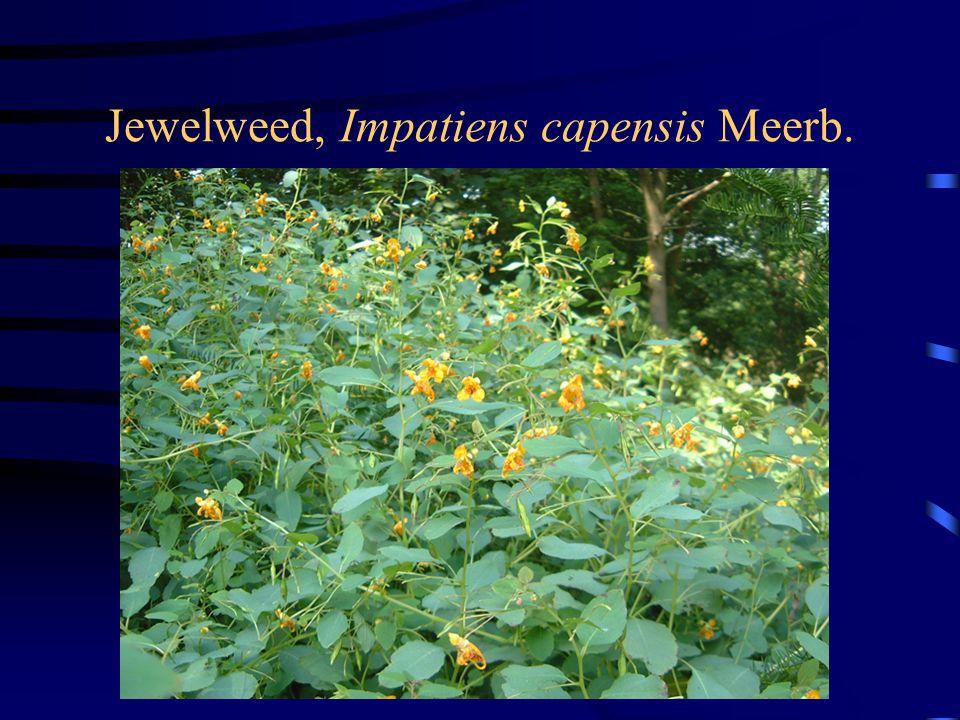 Jewelweed, Impatiens capensis Meerb.