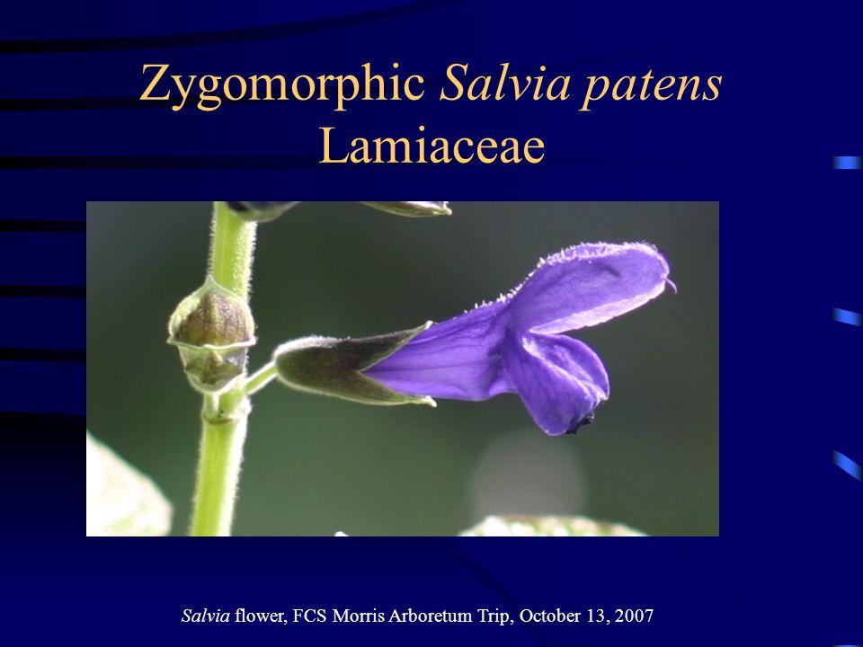 Zygomorphic Salvia patens Lamiaceae Salvia flower, FCS Morris Arboretum Trip, October 13, 2007