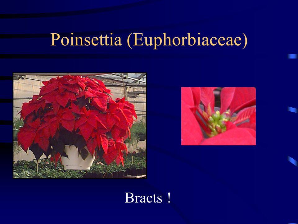 Poinsettia (Euphorbiaceae) Bracts !