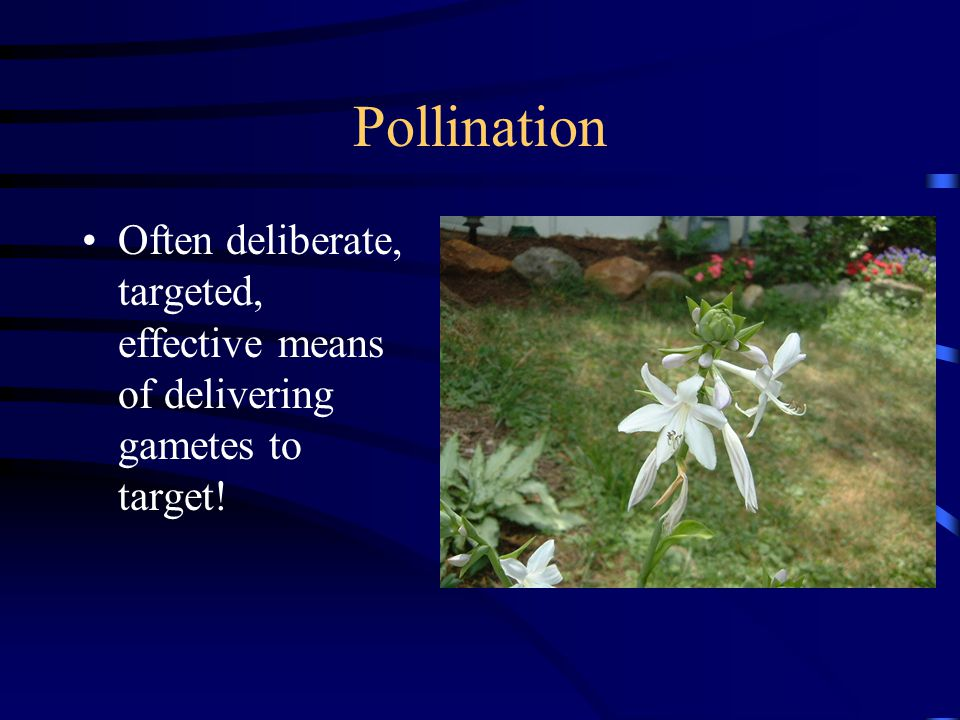 Pollination Often deliberate, targeted, effective means of delivering gametes to target!