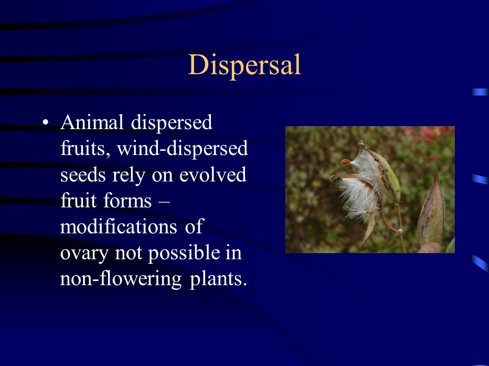 Dispersal Animal dispersed fruits, wind-dispersed seeds rely on evolved fruit forms – modifications of ovary not possible in non-flowering plants.