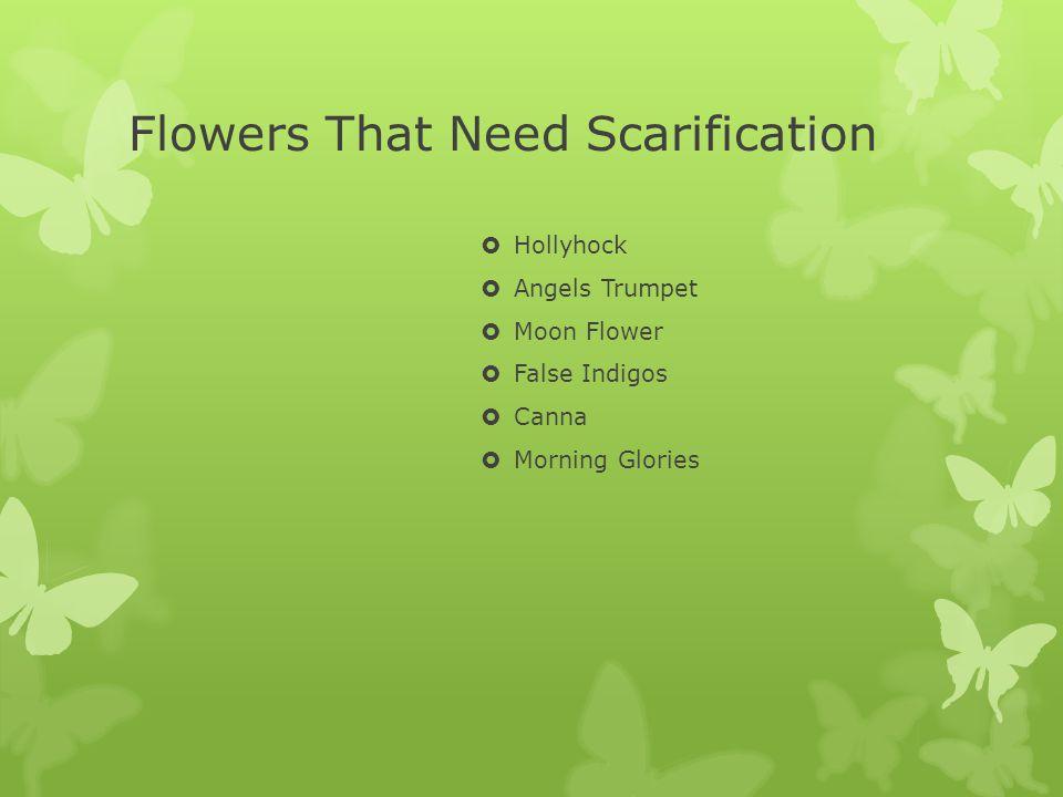 Flowers That Need Scarification Hollyhock Angels Trumpet Moon Flower False Indigos Canna Morning Glories