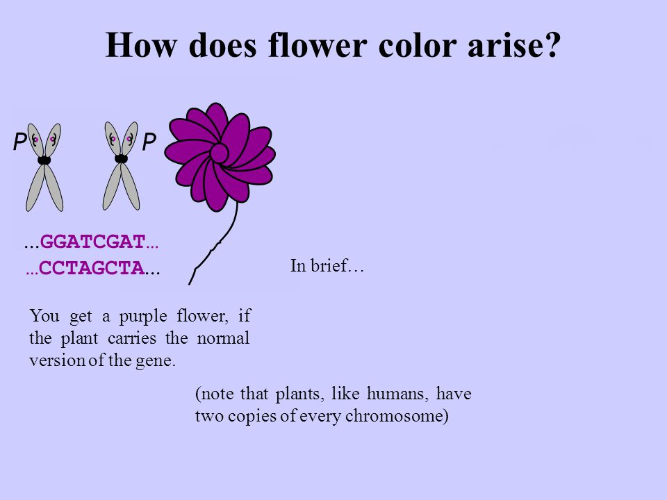 You get a purple flower, if the plant carries the normal version of the gene.... GGATCGAT… …CCTAGCTA... How does flower color arise? In brief… (note t