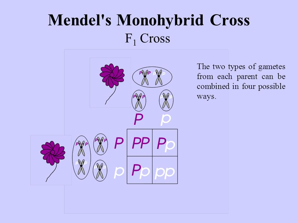 F 1 Cross Mendel s Monohybrid Cross The two types of gametes from each parent can be combined in four possible ways.