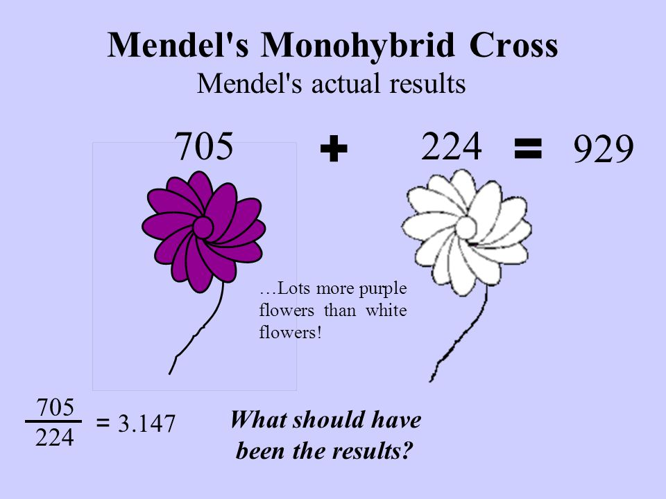 Mendel s Monohybrid Cross 705 …Lots more purple flowers than white flowers.
