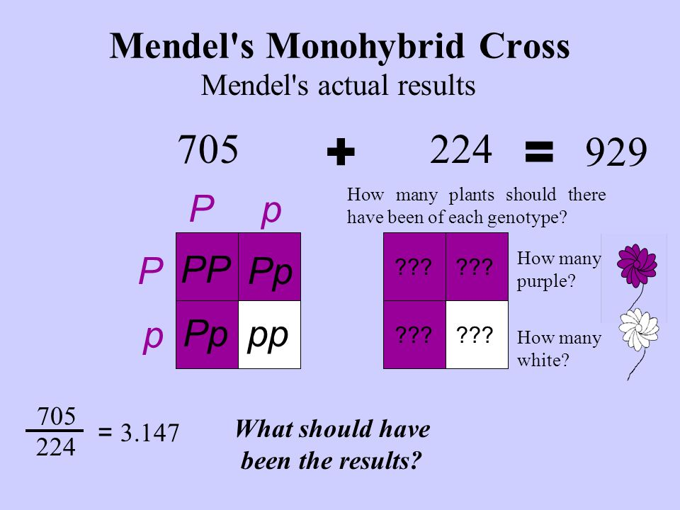 Mendel's Monohybrid Cross 705 Mendel's actual results += 929 PP Pp ppPp P P p p How many plants should there have been of each genotype? 705 224 = 3.1