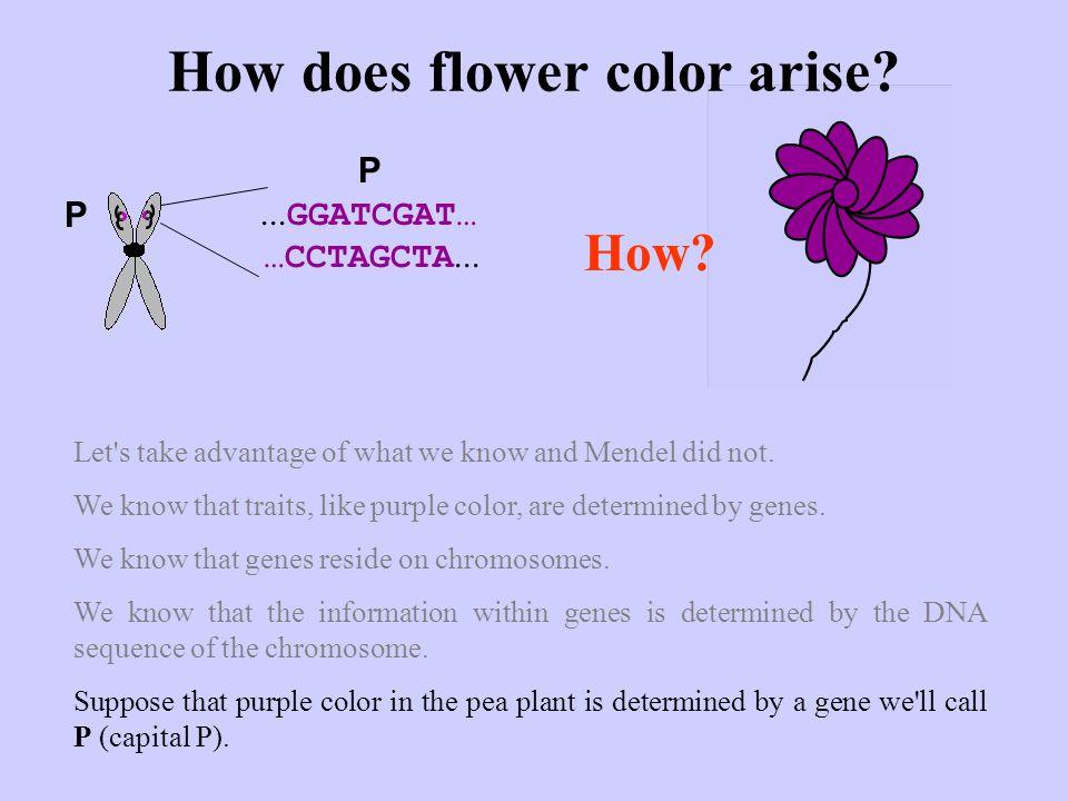 How does flower color arise?...GGATCGAT… …CCTAGCTA...
